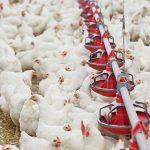 Valutazione EFSA: misure più stringenti nel pollame per ridurre i casi di salmonellosi nell'uomo