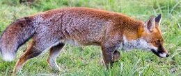 """Le volpi non sono buone """"sentinelle"""" per le malattie trasmesse da zecche"""