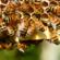 BeeOShield, progetto per un'innovativa difesa biomolecolare contro i parassiti delle api