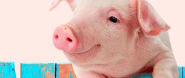 Influenza la ricerca! Collabora con l'IZSVe nella lotta all'influenza suina