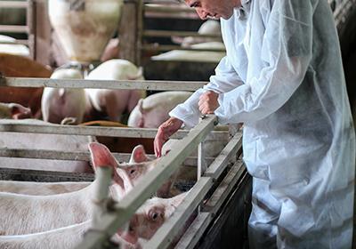 Veterinario in allevamento di suini