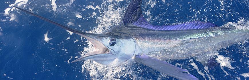 Mercurio nei marlin dei Caraibi. I rischi per la salute dei consumatori di Grenada e Repubblica Dominicana