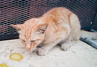 gatto infetto COVID-19