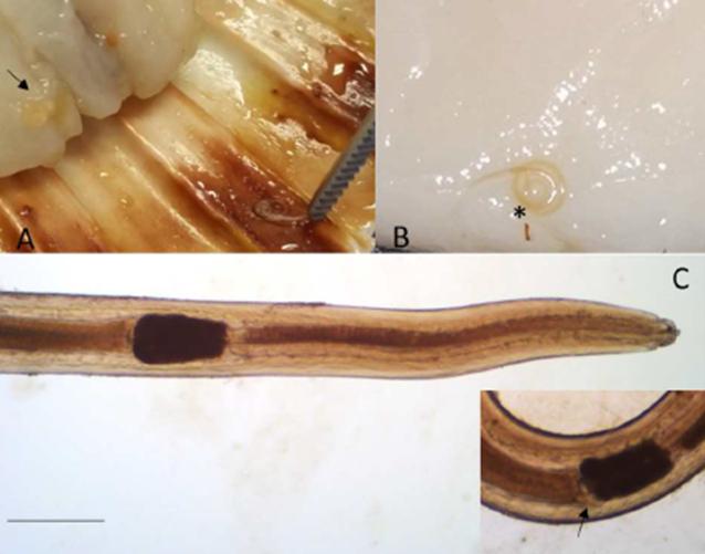 Larva di Sulcascaris sulcata