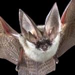 Quanto sono davvero pericolosi i pipistrelli? [Video]