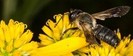 ape Megachile sculpturalis