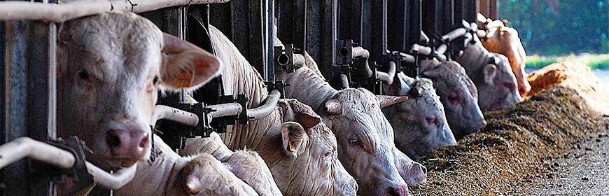 Antibioticfreebeef: un progetto per eliminare l'utilizzo degli antibiotici nell'allevamento del bovino da carne in Veneto