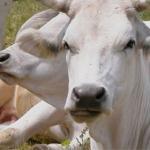 """Progetto """"Filiera Marchigiana di bovini da carne Antibiotic Free"""""""