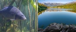 Herpes virus della carpa, il lago di Monticolo primo compartimento indenne d'Europa