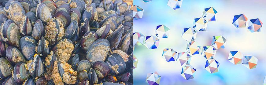 Molluschi bivalvi: sentinelle per bioaccumulo di nanoparticelle?