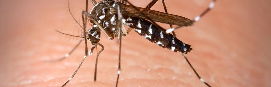 Quanto punge la zanzara tigre?