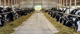 Bovine da latte, strategie per ridurre i rischi di mastite e l'impiego di antibiotici durante il periodo di asciutta