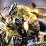 Eutanasia in apicoltura: una questione di benessere animale