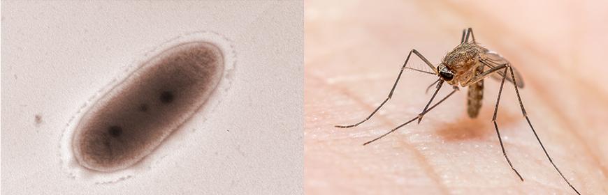 Studiare le simbiosi fra batteri e zanzare per vincere la resistenza agli insetticidi