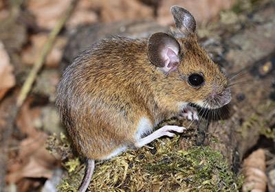 moria di topi: il punto della situazione