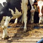 Il benessere degli animali allevati durante il trasporto [Video]