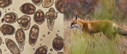 La presenza di Echinococcus multilocularis nella volpe rossa nell'Italia del Nordest