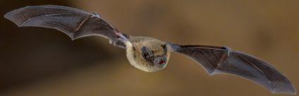 Pipistrelli e rischi per l'uomo: sfatiamo alcuni miti