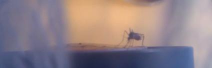 La zanzara coreana vola in Italia