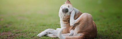 Come proteggere il cane dalle zecche? [Video]
