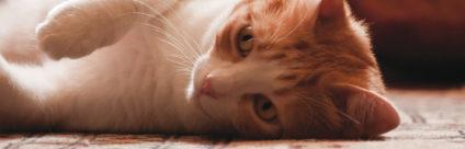 Corso ECM / Medicina veterinaria trasfusionale felina: conoscere per saper fare