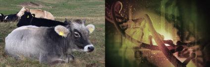 Tracciabilità genetica per promuovere i prodotti tipici ottenuti da razze bovine dell'arco alpino