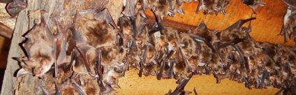 Rabbia. Linee guida per il personale a contatto frequente con i pipistrelli