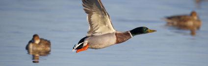 Lotta all'influenza aviaria. Avviato il progetto DELTA-FLU