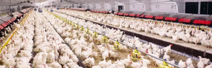 Innovazione tecnologica: un'opportunità per l'allevamento avicolo?