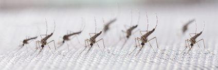Corso online ECM / Artropodi vettori di patogeni per l'uomo e gli animali: zanzare